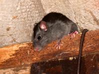 Из общежития дагестанского университета выселили двух студенток, пожаловавшихся на крысу