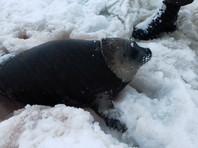 На Камчатке детеныша нерпы спасли от стаи бродячих собак