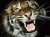 Охотнадзор проверяет ВИДЕО с двумя тиграми на дороге под Лучегорском