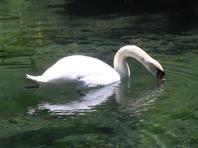Волонтеры в Крыму борются за жизнь диких лебедей на озере под Евпаторией