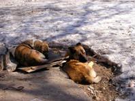 В мэрии Махачкалы предложили с пониманием отнестись к отстрелу бездомных собак на улицах