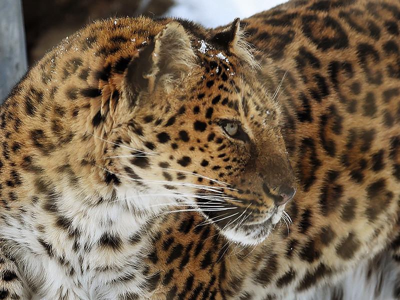 В столице Башкирии вечером 14 февраля в больницу доставили женщину в тяжелом состоянии, со скальпированной раной головы и разрывом плеча. Пострадавшая несколько раз повторила, что на нее напал леопард