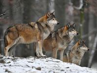 Жители Пермского края жалуются на нашествие волков: ходят слухи о растерзанном ребенке