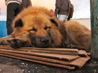 Проблема бродячих собак - не новое явление в Махачкале. По словам зоозащитников, увеличение численности бездомных животных на улицах города наблюдалось в течение всего 2016 года
