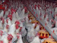 Роспотребнадзор подтвердил вспышку птичьего гриппа на птицефабрике в Подмосковье