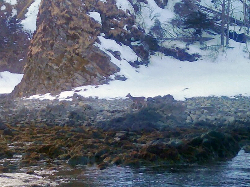Ученые отмечают, что переход одного или группы оленей с острова на остров - это естественный процесс расселения, и каких-то особых мер предпринимать не нужно