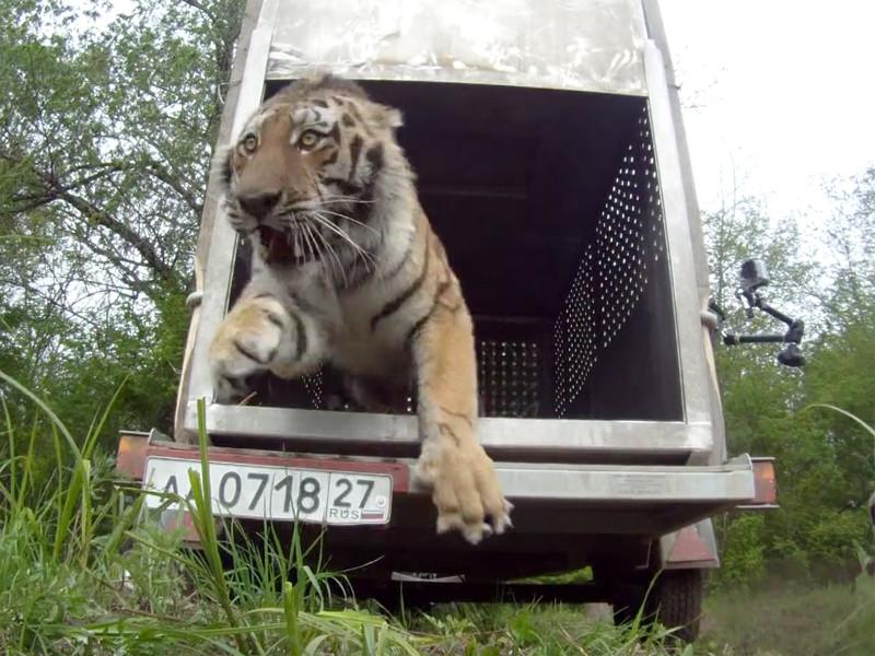Краснокнижный амурский тигр по кличке Упорный, которого осенью 2014 отловили в Хабаровском крае и после реабилитации в мае 2015-го выпустили в дикую природу, найден мертвым