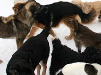 СК расследует нападение собак на ребенка в Красноярске