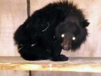 Приморский центр реабилитации животных усыновил осиротевшего гималайского медвежонка, найденного в сарае