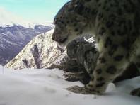 В фотоловушку бурятского нацпарка попал второй снежный барс (ВИДЕО)