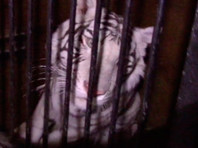 Цирковые тигры из фуры, попавшей в ДТП,  отправлены  в Уфу под конвоем гаишников