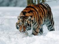 В Хабаровском крае активизировались тигры: есть жертвы среди домашних животных