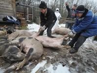 В Иркутской области объявлена ЧС из-за вспышки африканской чумы свиней
