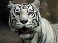 Цирковые тигры, брошенные на трассе Оренбуржье, абсолютно здоровы и готовятся к шоу