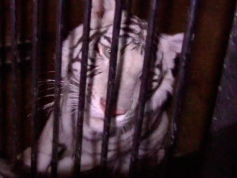 Сотрудники полиции и МЧС Оренбургской области помогли владельцам цирковых тигров перегрузить животных в клетках в другую машину, прибывшую из Уфы, и отправить по месту назначения, сообщили в субботу вечером в пресс-службе управления МВД РФ по региону в субботу