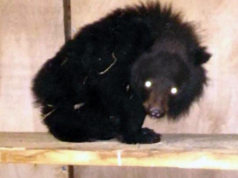 Специалисты Центра реабилитации тигров и других диких животных, расположенного в селе Алексеевка в Приморье, выхаживают осиротевшего гималайского медвежонка, которого нашли местные жители