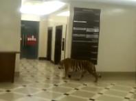 Полиция после появления в Сети видео с тигром разобралась, почему хищник гулял по ТЦ в Хабаровске