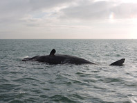 Камчадалы обнаружили на берегу Охотского моря двух погибших китов