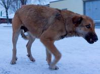 Столице Чукотки угрожает бешенство: власти решили убить всех безнадзорных животных