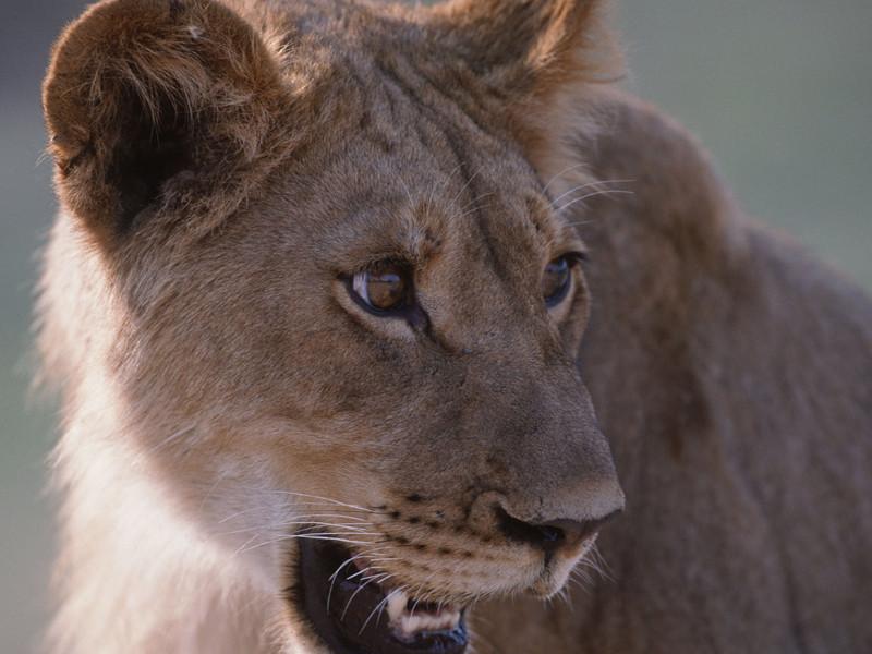 В Энгельсе укушенный за ягодицы подросток обвинил в нападении льва