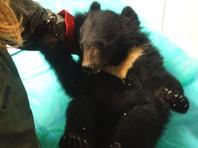 В Приморском крае спасли истощенного гималайского медвежонка, оставшегося без мамы