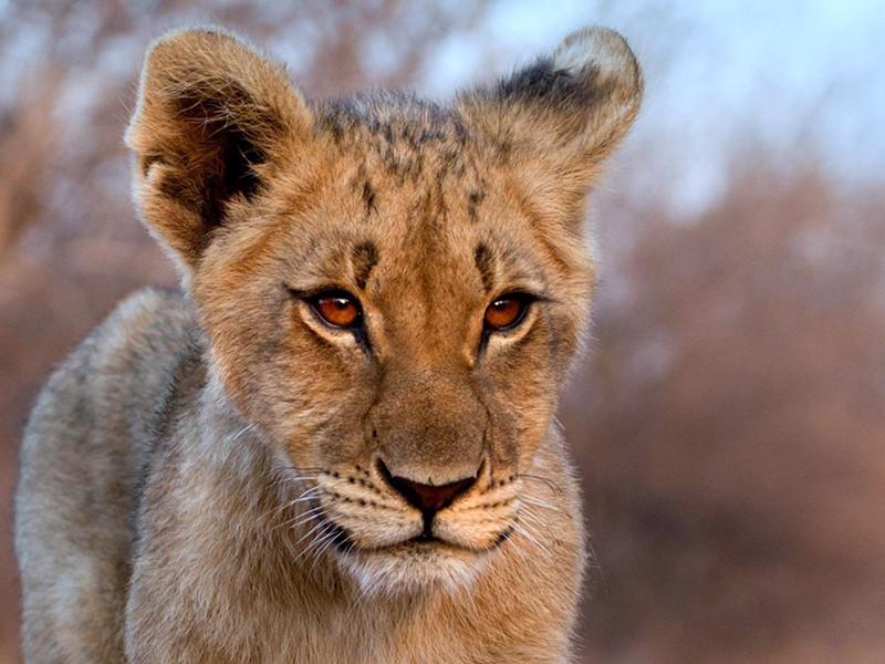 """По данным ведомства, """"беззащитный ребенок чудом избежал получения тяжелых травм"""", а владельцы животного содержат льва в домашних условиях, пренебрегая мерами безопасности"""