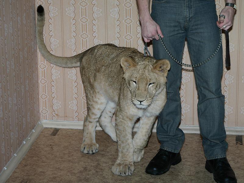 Суд забрал у владелицы львицу, покусавшую мальчика в Энгельсе