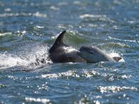 На Черноморском побережье Кубани нашли уже около 90 мертвых дельфинов, одного - черного от нефти (ФОТО)
