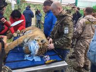 Тигра Владика, которого отловили во Владивостоке, выпустили в дикую природу (ФОТО)