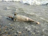 У побережья Анапы произошла массовая гибель дельфинов. Жители города обвинили власти в бездействии
