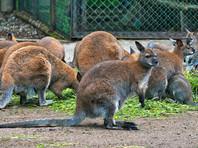 В Калининградском зоопарке после нападения бродячих собак погибли два кенгуру