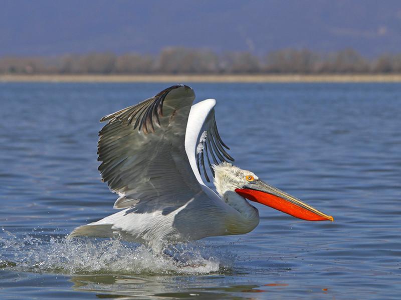 Омской области находится самая северная колония кудрявых пеликанов, которая оказалась под угрозой из-за разрушения паводком уникальных плавучих островов из тростника, на которых они гнездились