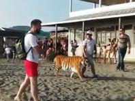 Полиция разбирается с прогулками тигра по пляжу в Находке (ВИДЕО)