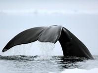 В Хабаровском крае спасателям удалось освободить кита, застрявшего в устье реки