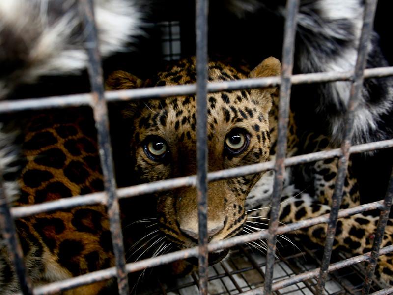 После нападения на девочку леопарда следователи намерены проверить все зоопарки Саратовской области