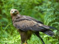 В Лотошинском районе Подмосковья нашли редчайшую хищную птицу из семейства ястребиных