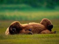 На Урале грибник нокаутировал ударом в морду напавшую на него медведицу