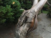 В курортном городе Сочи туристка, приехавшая на отдых, забралась на полувековой кипарисовик на Приморской набережной, чтобы сделать селфи, но ствол дерева не выдержал ее веса и треснул