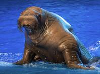 Тренера Приморского океанариума уволят за драку с моржом