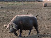 В распространении африканской чумы свиней в Омской области чиновники обвинили почтальонов и ветеринаров