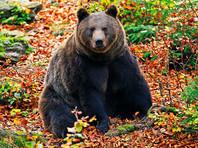 На Таймыре бурый медведь загрыз ребенка