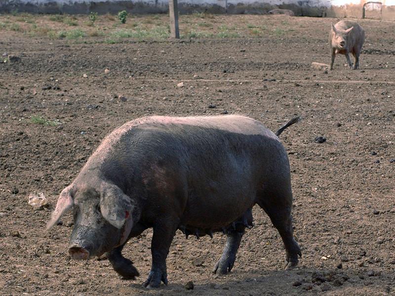 Федеральная служба по ветеринарному и фитосанитарному надзору (Россельхознадзор) сообщила о регистрации новых случаев заражения африканской чумы свиней (АЧС) на территории Саратовской и Омской областей