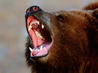 На Сахалине охотник, отправившийся на медведя, стал жертвой косолапого