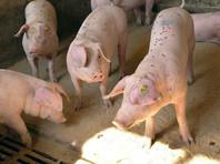 В Красноярском крае ввели режим  ЧС из-за вспышки африканской чумы свиней