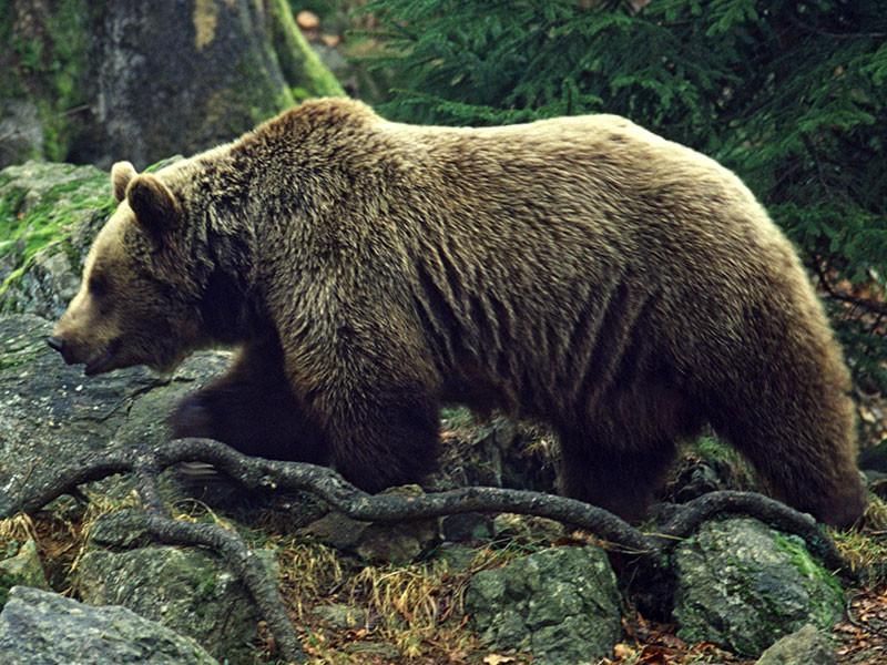 Бурый медведь забрел  на один из рынков города Елизово на Камчатке