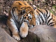 Амурский тигр, которого усыпили в США, перед отправкой за океан был совершенно здоров, объявил Московский зоопарк