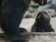 Жители поселка в Томской области массово отравились копченой медвежатиной