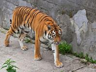 "Сотрудница зоопарка в Калининграде госпитализирована после нападения тигра. Сам тигр ""перенес стресс"""