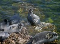 Одним из природных факторов, вызвавших самую массовую за последние 30 лет гибель нерпы на озере Байкал, могла стать бескормица