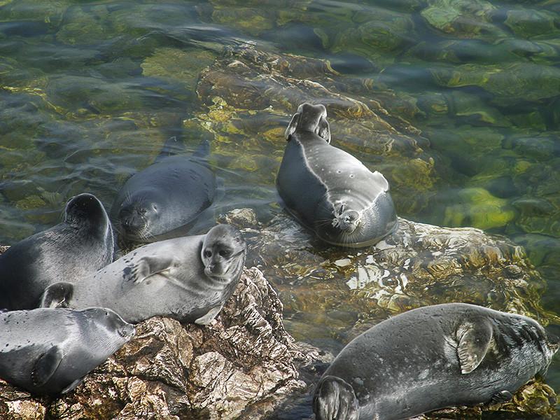 Специалисты не нашли загрязнений в воде в местах массовой гибели нерпы на Байкале